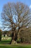 最旧的英国榆木在欧洲 免版税库存图片