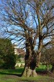 最旧的英国榆木在欧洲 免版税库存照片