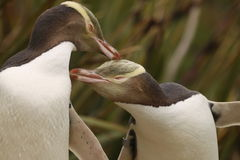 最罕见的黄色目的企鹅, megadyptes对映,新西兰,南Islan 免版税图库摄影