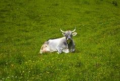 最美丽的高山母牛 库存照片