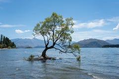 最著名的孤立树Wanaka树在Wanaka, Otago,新西兰在夏天 免版税图库摄影