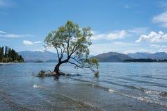 最著名的孤立树Wanaka树在Wanaka, Otago,新西兰在夏天 免版税库存照片