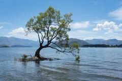 最著名的孤立树Wanaka树在Wanaka, Otago,新西兰在夏天 免版税库存图片