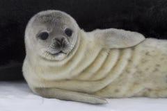最近出生小狗Weddell封印1 免版税图库摄影