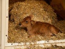 最近出生的小牛小母牛 免版税库存照片