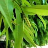 最近出生的树叶子宏指令摄影 库存照片