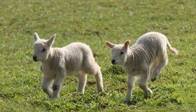 最近出生的羊羔 库存照片