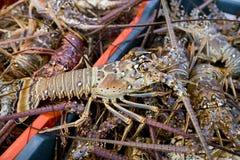 最近多刺被捉住的龙虾 库存图片