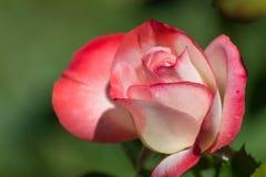 最近开花的玫瑰花蕾 库存图片