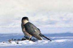 最近抓住的鹰 图库摄影