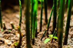 最近被发掘的植物芽 免版税图库摄影