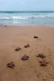 最近被孵化的小愚人海龟 库存照片