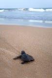 最近被孵化的小愚人海龟t 免版税图库摄影