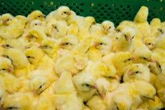 最近被孵化的小鸡 库存照片
