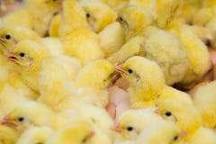 最近被孵化的小鸡 库存图片
