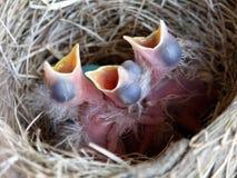 最近被孵化的美国人罗宾小鸡 库存图片