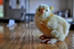 最近被孵化的鸡3 免版税库存照片