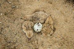 最近被孵化的黑漏杓小鸡 免版税图库摄影