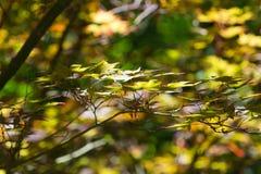最近转动的鸡爪枫叶子 图库摄影
