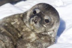 最近说谎的出生小狗Weddell封印 库存图片