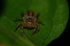 最逗人喜爱的跳跃的蜘蛛 免版税库存照片