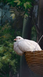 最逗人喜爱的鸽子 免版税库存图片