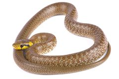 最长肌医术的蛇的Zamenis 免版税库存图片