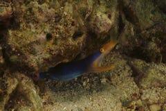 最高荣誉鳗鱼Kapalai海岛,沙巴 免版税库存图片