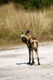 最终非洲的猎人 库存照片