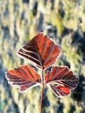 11月一日在的霜叶子 库存照片