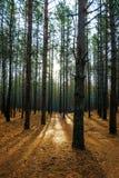 10月上旬早晨在杉木森林里 库存照片