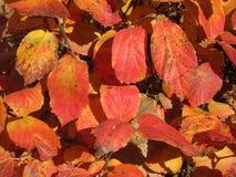 11月下旬橙色叶子  免版税图库摄影
