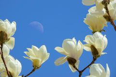 月亮和yulan花 图库摄影