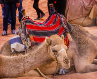 月亮瓦地伦约旦骆驼谷  免版税图库摄影