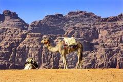 月亮瓦地伦约旦黄沙骆驼谷  免版税库存图片