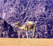 月亮瓦地伦约旦黄沙骆驼谷  免版税图库摄影