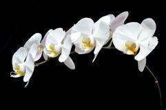 月亮的兰花(兰花植物amabilis) 免版税库存照片
