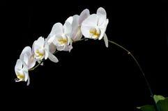 月亮的兰花(兰花植物amabilis) 库存图片