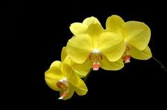 月亮的兰花(兰花植物amabilis) 图库摄影
