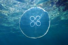 月亮水母和水表面 图库摄影