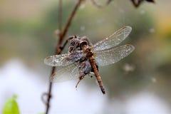 10月使蜻蜓惊奇死了在工作 免版税库存照片