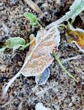 11月在的早晨霜植物 库存图片