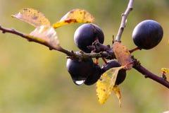 10月在雨以后的黑色莓果 免版税图库摄影