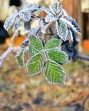 12月在黑莓灌木的早晨霜离开 免版税库存照片