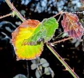 12月在黑莓灌木的早晨霜离开 库存照片