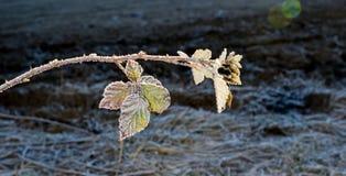 12月在黑莓灌木的早晨霜离开 免版税图库摄影