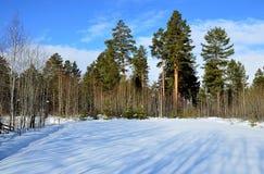 2月天蓝色天空 冬天杉木森林 免版税库存照片