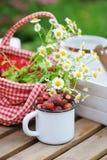 6月或7月庭院场面用新鲜的摘的有机野草莓 免版税库存照片