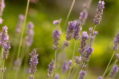 6月是淡紫色的季节 库存图片