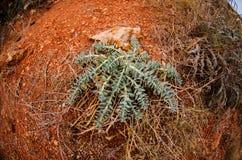 10月景天属在从保加利亚沿海的一个被保护区 库存图片